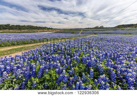 Large Texas bluebonnet field in Muleshoe Bend Austin TX.