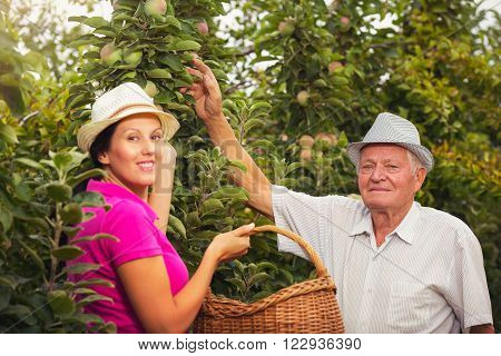 Young woman help an old man in the orchard to pick apples ** Note: Shallow depth of field
