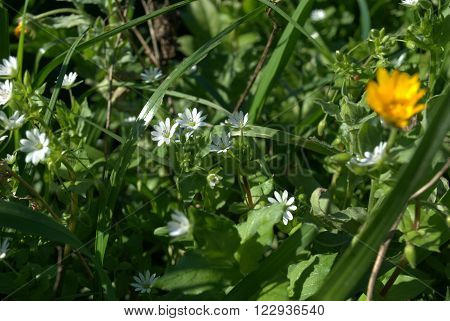 Background Wild Spring Green Grass and Yellow and White Flowers. Website Background Wild Nature Image with Green Spring Grass and Yellow and Blue Flowers