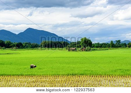 A farmer is weeding in a paddy field.