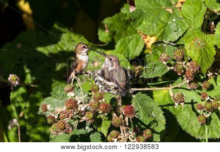 a Young Rufous Hummingbird and nest feeding