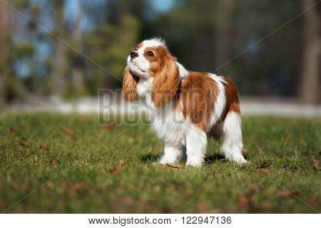 cavalier king charles spaniel puppy posing outdoors