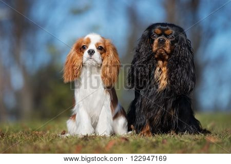 two cavalier king charles spaniel dogs posing outdoors