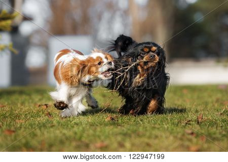 two dogs playing together outdoors in spring