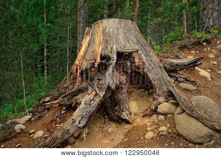 A huge old tree stump with bare roots nestled on a clayey stony in the dark woods.