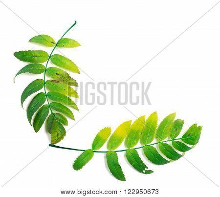 Rowan Leaf Isolated On White Background