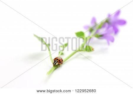 Ladybug on bellflower on white background. Happy Easter!