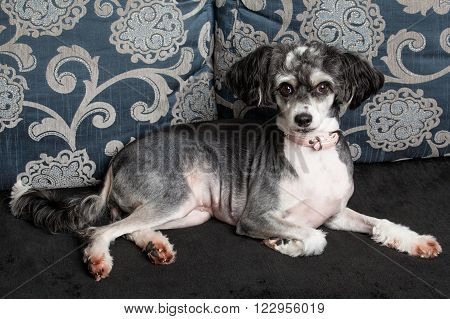 Chinese Crested Dog  Laying On The Sofa