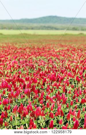 Beautiful Crimson clover flower field in spiring