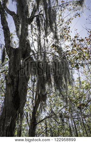 Large tree with Spanish Moss hanging from its branches