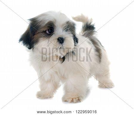 puppy shih tzu in front of white background