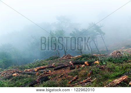 Trees Chopped And Stacked A Pine Forest In The Fog