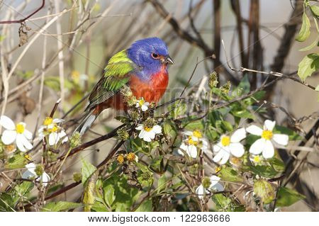 Male Painted Bunting In Spring