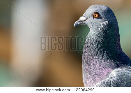 grey pigeon profile detail of head and neck with out of focus background