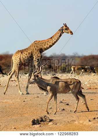 Portrait of a full frame giraffe with a Male Kudu in the foreground and a herd of zebra in the background
