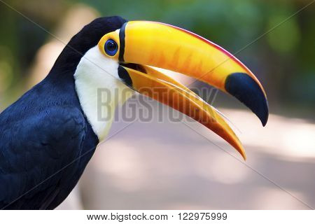 Close up of exotic toucan bird in natural setting near Iguazu Falls, Foz do Iguacu, Brazil.