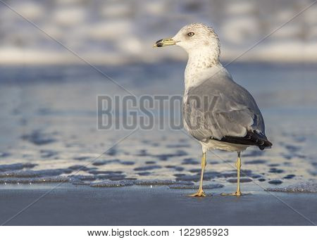 Ring-billed Gull At The Edge Of A Beach - Florida