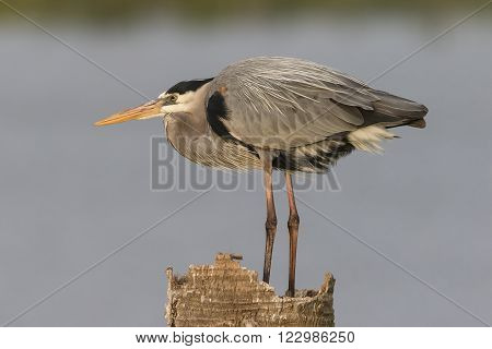 Great Blue Heron Perched On A Dead Palm Stump - Florida