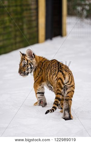 Tiger cub playing in the late winter snow before going back in to his enclosure at the sanctuary.