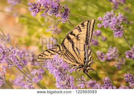 Macro of a Canadian Tiger Swallowtail Butterfly on purple lupins.