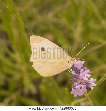 Macro of a Cabbage butterfly on a purple lupin.