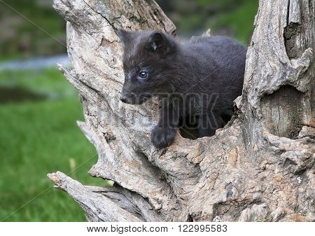 Young, baby Arctic fox climbs on a piece of old tree root.