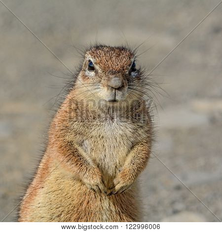 The Southern African Ground Squirrel (Xerus inauris) is found in most of the drier parts of southern Africa from South Africa through to Botswana and into Namibia.
