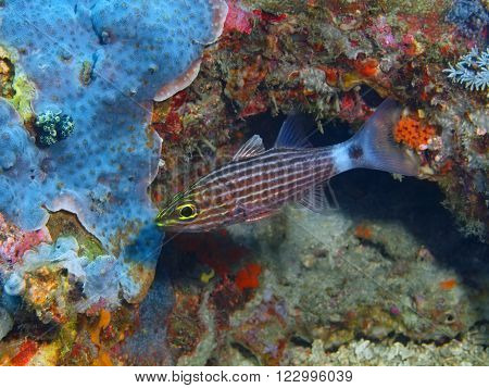 The surprising underwater world of the Bali basin, Island Bali, Pemuteran. Coral fish