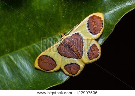Close up of Plutodes flavescens moth on green leaf in nature, flash fired
