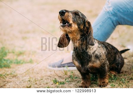 Brown Red Wire-haired Dachshund Dog Barking Outdoor