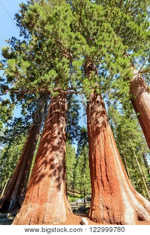 Giant Sequoias in Sequoia National Forest in California