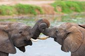 stock photo of gentle giant  - two african elephants playing with their trunks - JPG