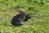 stock photo of rabbit hole  - young rabbit waiting by burrow - JPG