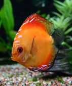 pic of diskus  - beautiful orange discus fish in aquarium: beauty of nature