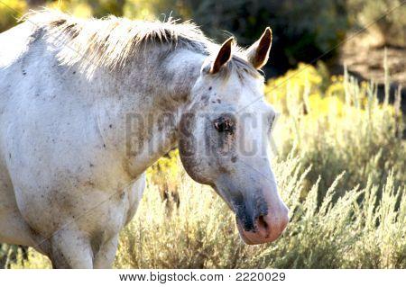 Peaceful White Horse