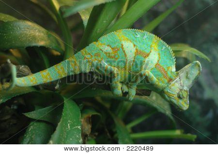 Cameleon Lizard