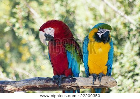 Laughing parrots
