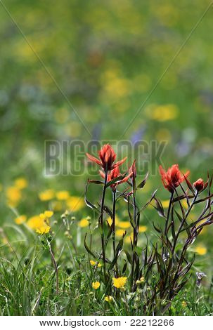 Red Indian Paintbrush Wildflowers