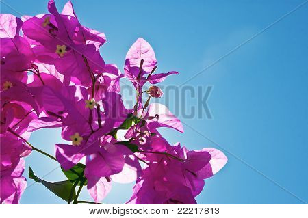 Bougainvillea And Sky