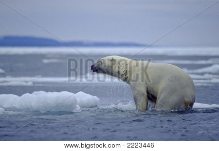 Polar Bear On Sunken Ice Floe