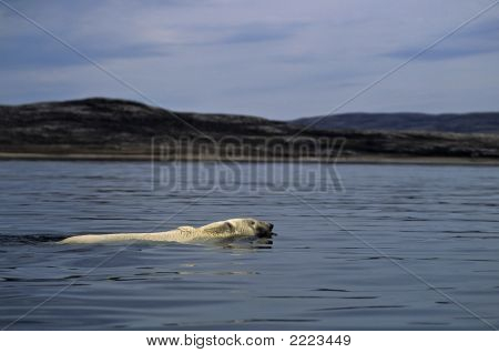 Polar Bear Swimming Between Islands In  Wager Bay
