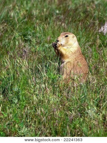 Prairie Dog Feeds On Grass.