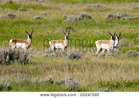 Herd Of Pronghorn.