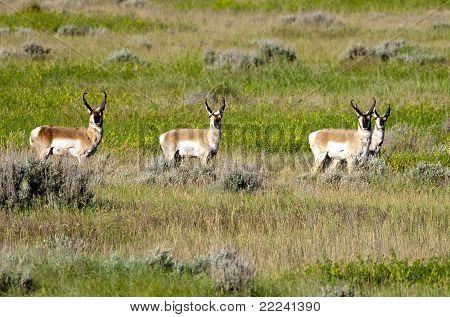 Herd Of Pronghorn.