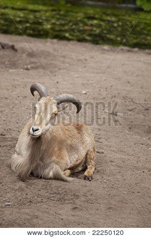 Barbary Sheep, Ammotragus Lervia