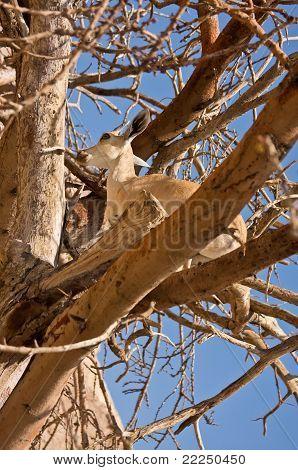 Ibex In Tree