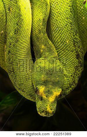 Green Python, Morelia Viridis