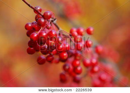 Red Berries Of Autum
