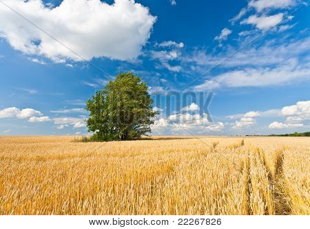 alone tree in wheat field