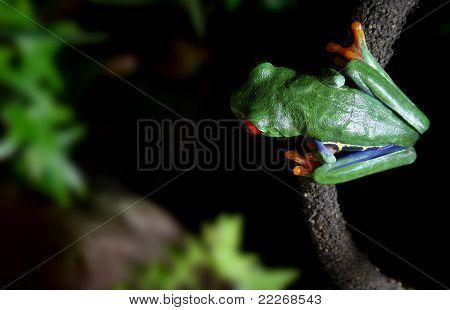 Red-eyed Tree Frog On Vine